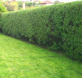 Hedges after Trimming